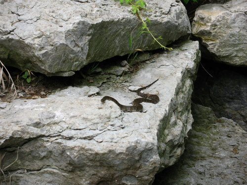 water snake on a rock