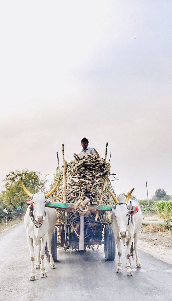 travelogue nashik shirdi sugarcane bullock-cart