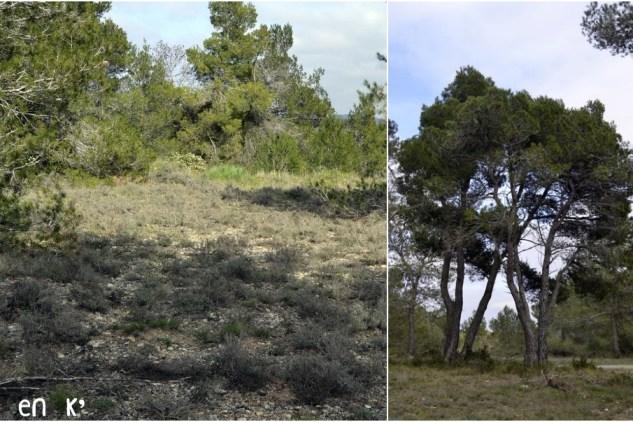 Photo des pins dans la garrigue de la montagne noire