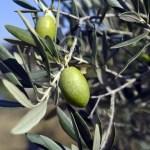 arbre-olive-pitcholine-vert