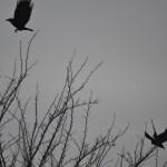 """Photo des corbeaux en vol façon """"Hitchcock"""" pour le thème """"Voler"""" pour le projet 52 de vivre la photo"""
