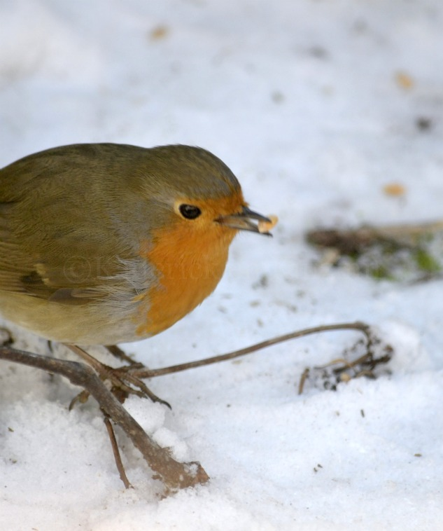 """Photo d'un rouge gorge avec une graine dans le bec dans la neige pour le thème """"Voler"""""""