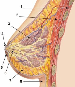 37136-breast-diagram