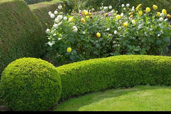 Best way to cut a privet Hedge, Spherical-Punctuation-hedge,