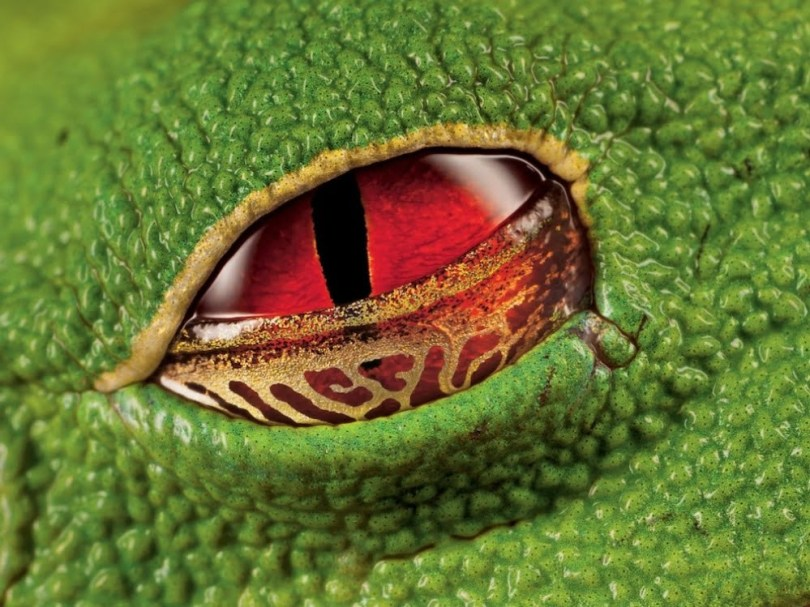 the-scarlet-eyes-of-a-warty-tree-frog