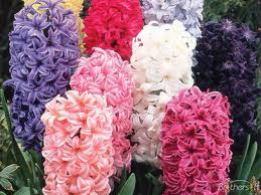 Hyacinths. Source: beauty-places.com