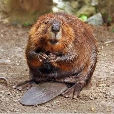 North American Beaver via Wikipedia, and beavers are the source for natural castoreum, though synthetic versions are now used for ethical, humane reasons.
