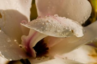 """Magnolia after rain."" Photo: David Friederich on redbubble.com (website link embedded within.)"