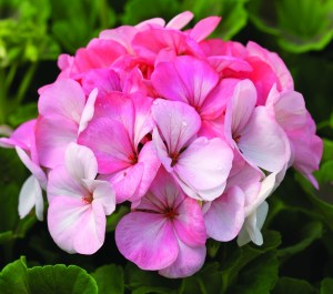 Rose geranium. Source: sett.com