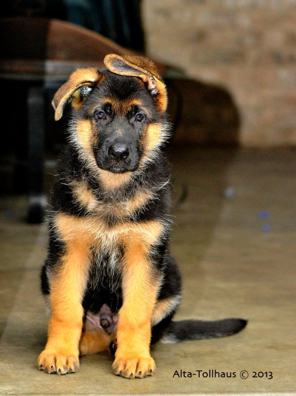 Source: Alta-Tollhaus German Shepherd Dogs Facebook page.