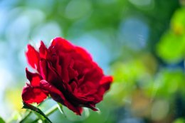 """Red Rose with green-blue bokeh"" by Pohlmannmark on Deviantart.com. (Website link embedded within.)"