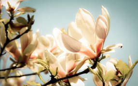 """Magnolia Glow wallpaper"" by AEtherPie on Deviant Art. (Direct website link embedded within.)"