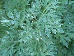 Artemisia or Wormwood via ebay.com