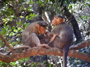 Matheran's Bonnet macacque or Macaca monkeys. Source: Wikicommons
