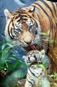 baby tiger and mother