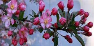 Arbre fruitier : quel entretien ? Ici, des fleurs de pommier. © PaulaN, Wikimedia Commons, CC by-sa 4.0