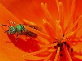 Les abeilles absorbent souvent la transpiration humaine réputée être riche en protéine.