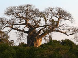 5 bienfaits du Baobab un superaliment pour booster sa santé