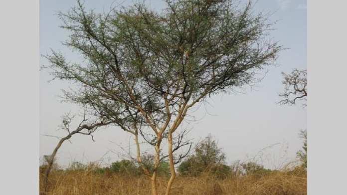 Acacia-seyal