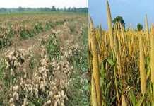 Une ''Hausse modérée'' de la production d'arachide à Kafrine