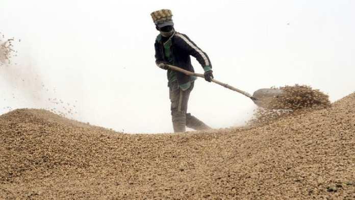 arachide - Collecte de cacahuètes dans la région de Kaolack au Sénégal le 21 janvier 2020