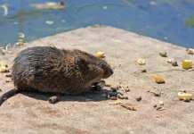 Comment faire du poison pour rat fait maison