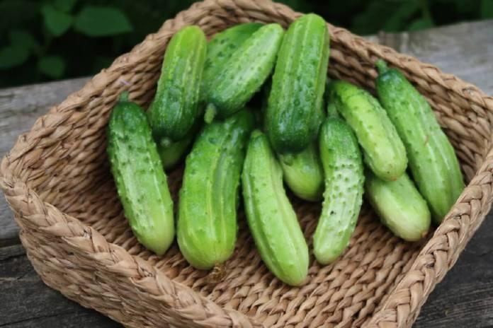 cornichonnorthern-pickling