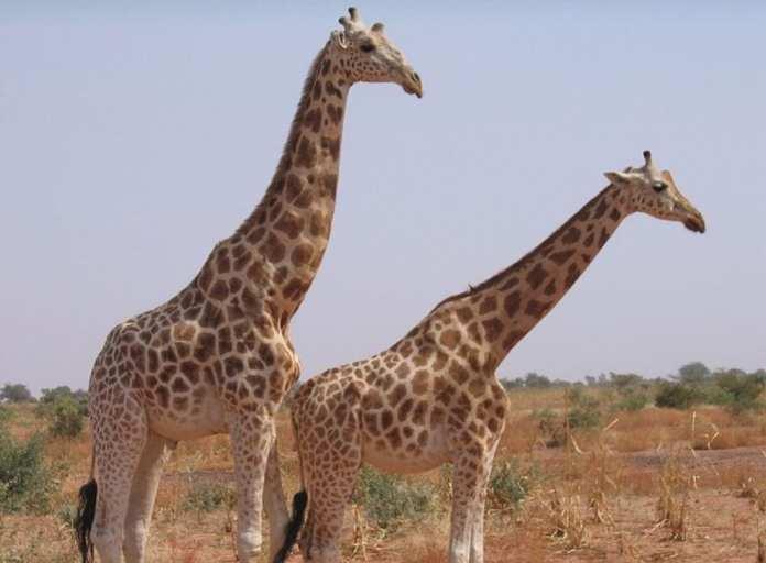 Parc Girafe niger-giraffe-park