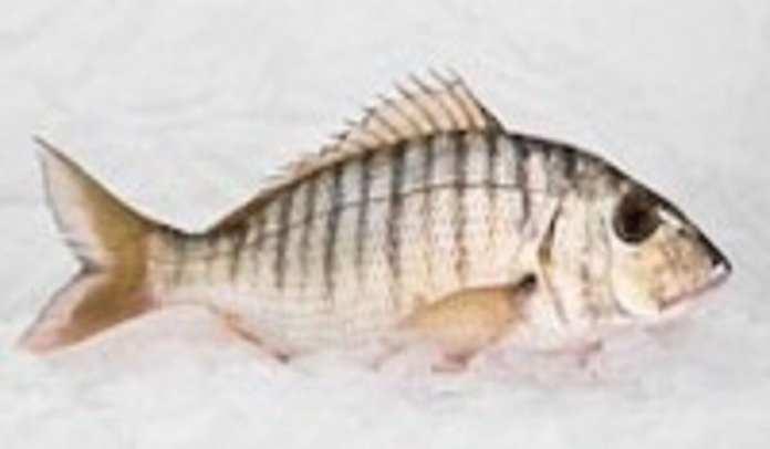 lithognathus-mormyrus