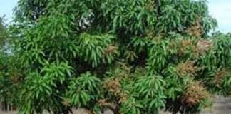 Le manguier www.kafunel.com bienfaits