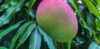 manguier est un arbre de la famille des Anacardiaceae,