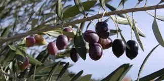 zoom-sur-l-olive-noire-de-nyons