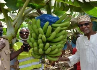 Autosuffisance en banane du Sénégal sur 1000 ha à Pakour www.kafunel.com Un exemple de collaboration parfaite