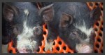 進化する鹿児島の黒豚