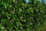 桑の葉のお茶の歴史