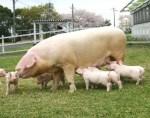 ランドレースとは大体の日本人がイメージする豚!