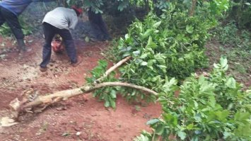 Nyeri coffee farmers uproot their crops last year. [PHOTO/ COURTESY]