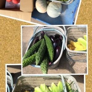 本日の収穫!取り立て野菜~