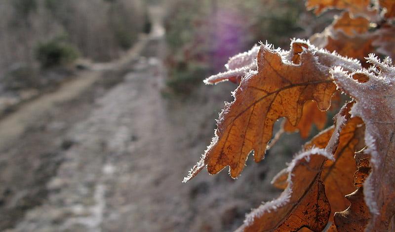 Frostigt löv och mysigt morgonljus