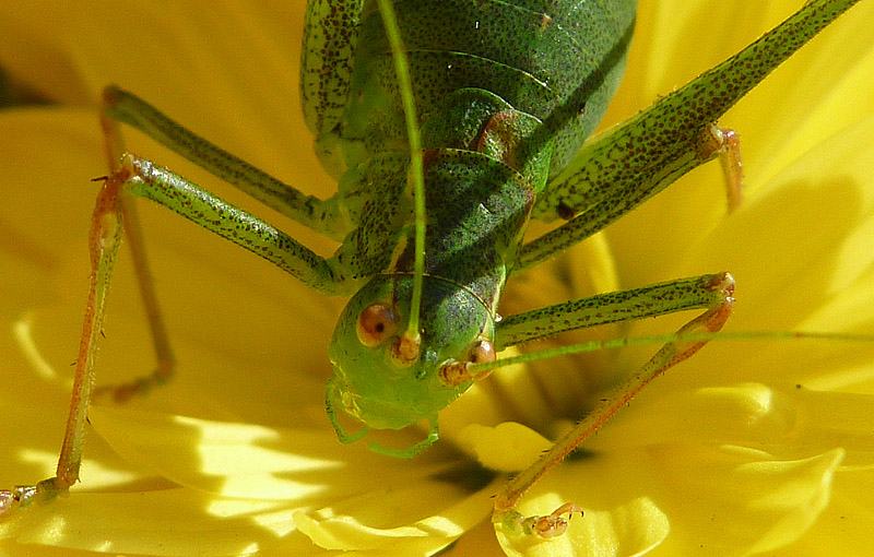 Vårtbitare bland gland gula blad
