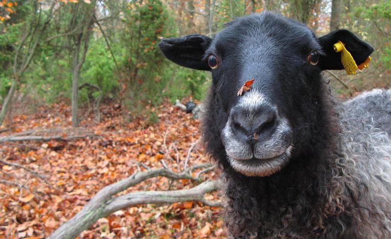 Ett av fåren