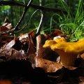 Kantarell stretar sig uppåt mellan löv, grenar och gräs