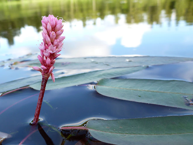 Blomma i Fredriksdalasjön