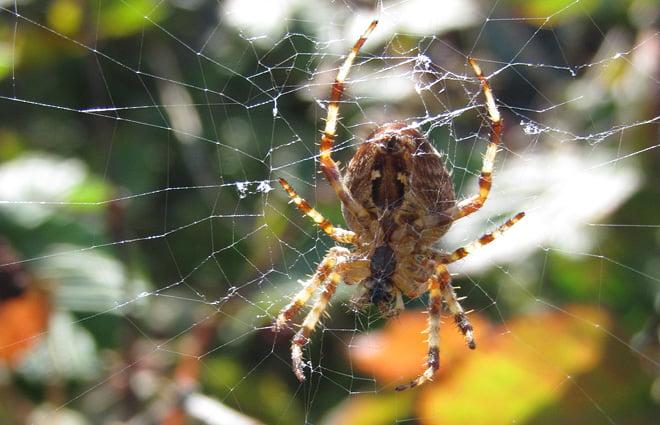 och en hel del spindlar som vaktar de ännu inte mogna björnbären