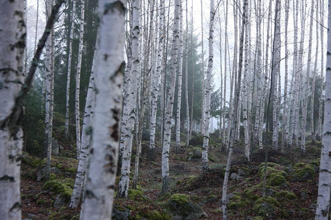 Fina björkskogar