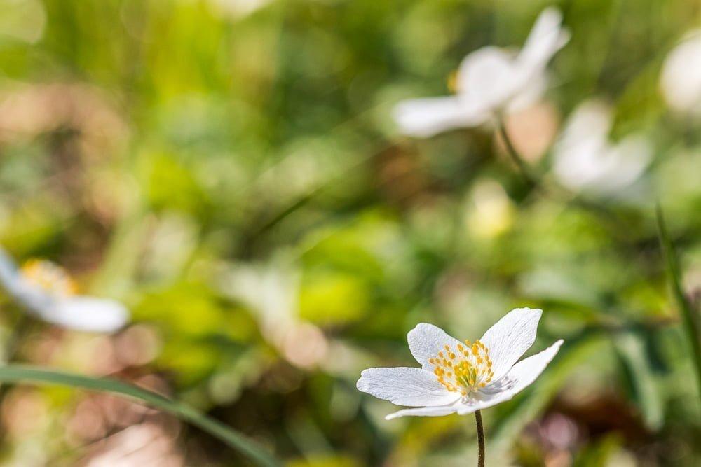 Många vitsippor kvar trots att många blommat över