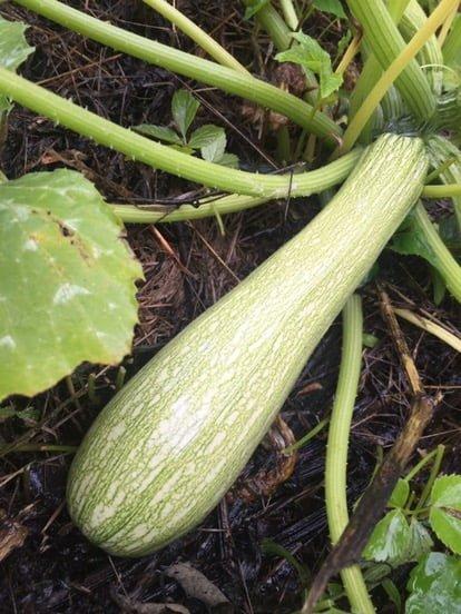 Squash är tacksamt att odla, blir lätt mycket av det