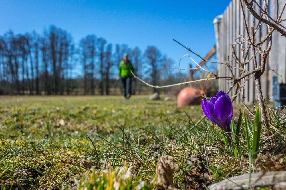 Börjar blomstra kring huset på Arpö