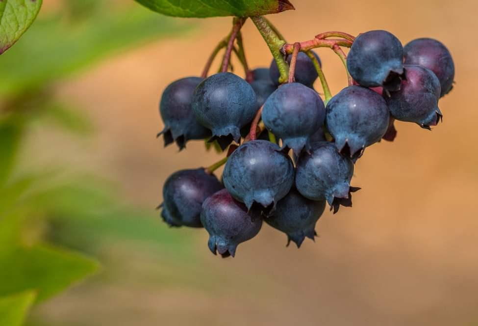 Amerikanska blåbär - inte lika goda som vilda blåbär men helt okej