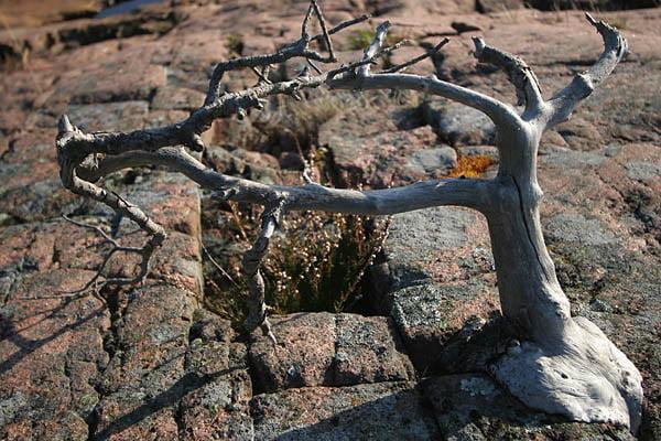 Ett naturligt litet Bonzaiträd på V Långholmen.
